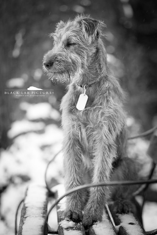 Irish terrier Maxwell
