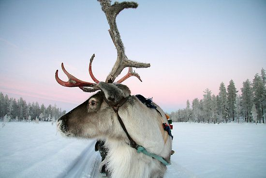 Lapland reindeer - my grandpa came from Lapland and was a reindeer herder.