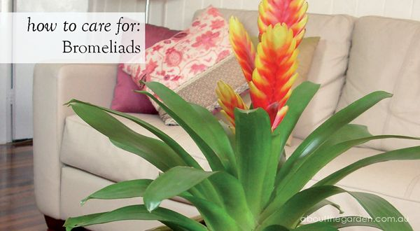 How to Care for Tropical Bromeliads #garden #indoor #pot #flower #aboutthegarden