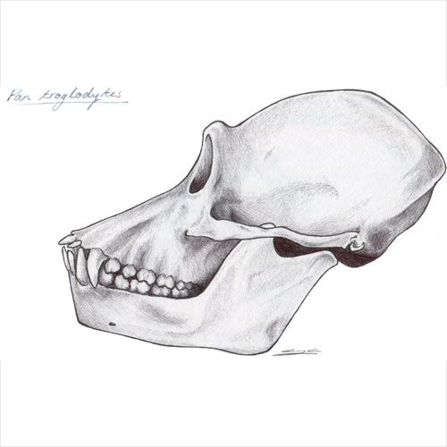 Illustration of a chimpanzee skull I made to help me study for my primatology lectures.