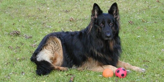 Ein Altdeutscher Schäferhund