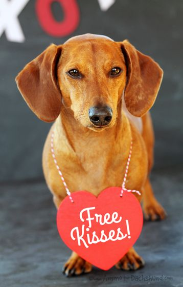 Happy Valentine's Day Friends // Ammo the Dachshund - Free Kisses for Everyone!