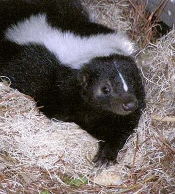 I want a pet skunk!