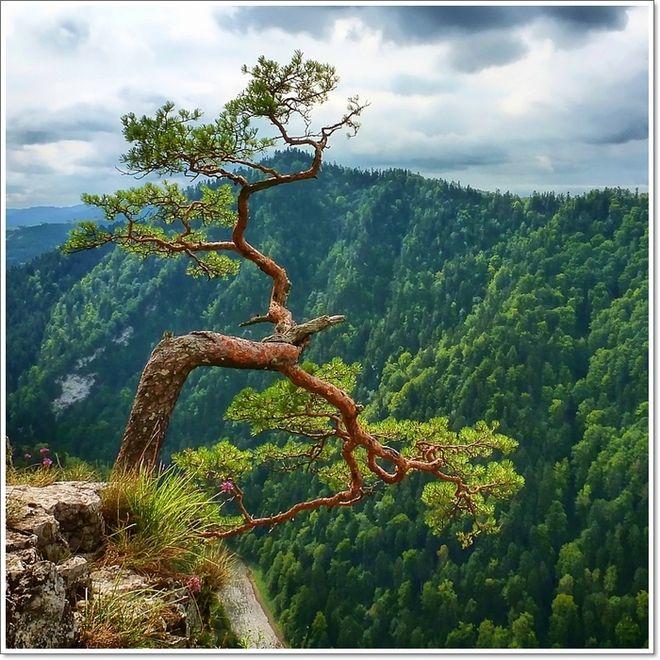 w drodze na Trzy Korony - najsłynniejsza sosna reliktowa na Sokolicy   autor : Słonecznik   http://www.swiatobrazu.pl/fotografie/galeria/uzytkownika/id/50462