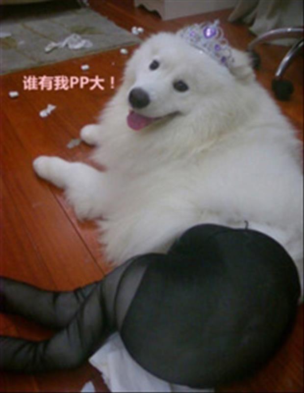 dogs wearing pantyhose meme (15)
