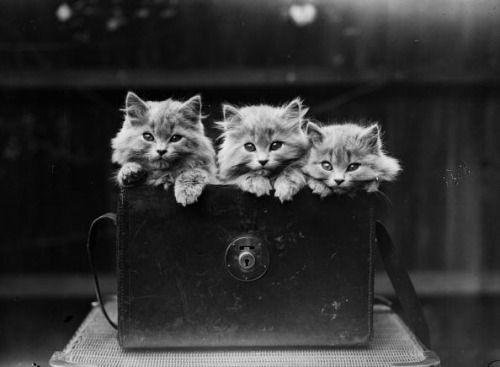 Haute Catture :: trois petits minous ont trouvé le sac à main...et c'est bien mieux que des mitaines.