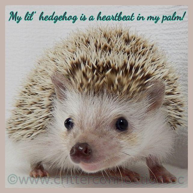 pygmy hedgehog care sheet pdf