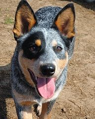 Blue Heeler if you want a dog who will live forever.... Here it is. Haha. Seriously
