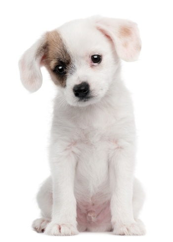 Cross-breed dogs are becoming more popular in the belief they're healthier and more resilient.