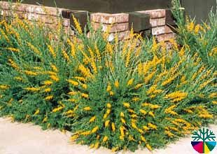 Love My Sweet Broom Bush I Just Planted This Behind My