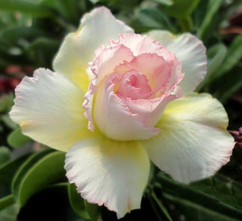 Adenium Obesum Desert Roses Rare www DoublePinkinsunus -- Continue to the product at the image link.