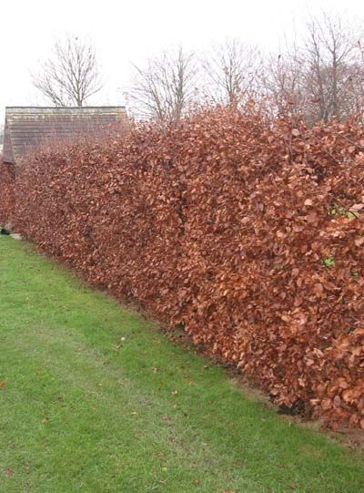 beech hedges retain leaves in winter