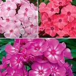 phlox...more pink flowers