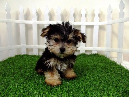teacup morkie puppies for sale (