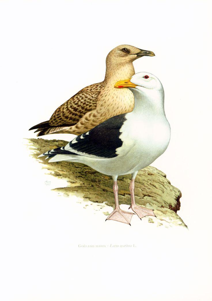 1969 Goeland marin. Mouette, Illustration Oiseau, Ornithologie,Laridé, Déco Vintage de la boutique sofrenchvintage sur Etsy