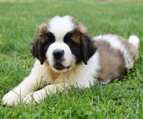 St Bernard Puppies For Sale Grand Rapids Mi Puppies Puppies