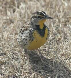 Early spring meadowlark