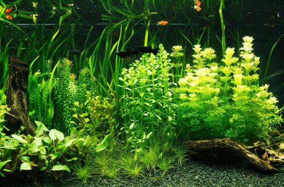 1000 ideas sobre peces agua dulce en pinterest tanque for Peces agua dulce