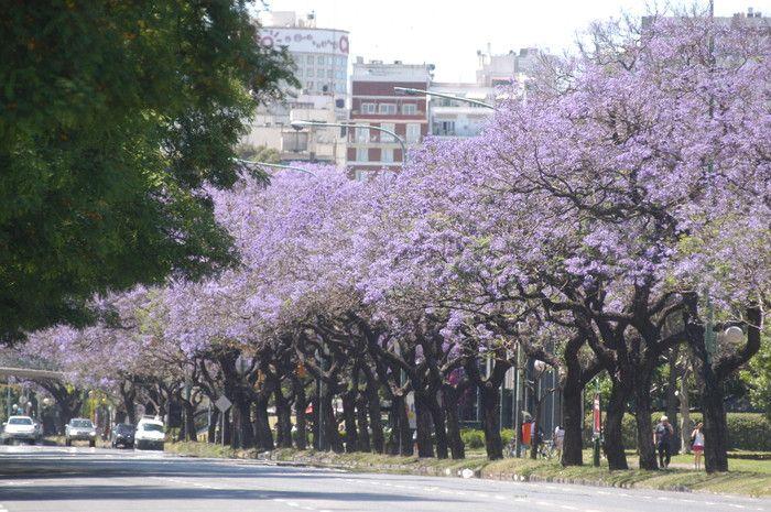 El Jacarandá, símbolo de la primavera en Buenos Aires   Noticias   Buenos Aires Ciudad - Gobierno de la Ciudad Autónoma de Buenos Aires