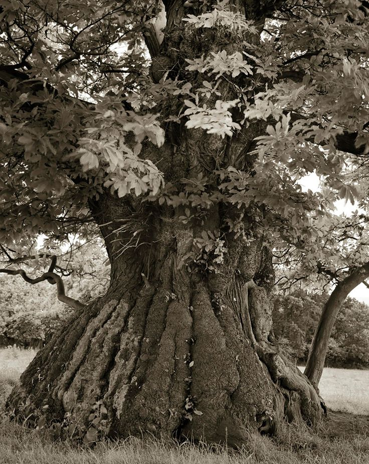 "A photographer from San Francisco traveled around the world and searched for the trees that are considered to be the oldest surviving ones. Beth Moon has taken pictures of these trees in duotone and has published the book ""Ancient Trees: Portraits Of Time"""