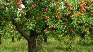 De appelboom staat symbool voor: liefde, vruchtbaarheid en onsterfelijkheid