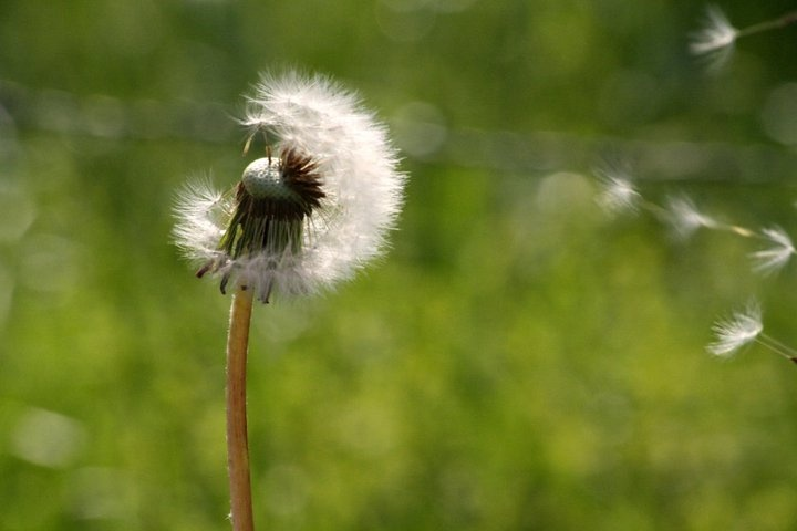 One of my favorite memories...sitting in my front yard picking dandilions, making a wish and blowing...watching them be carried away on the wind. :)