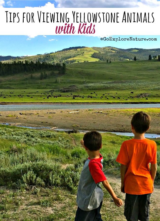 Planning a Yellowstone vacation for your family? Get our best tips for viewing animals with kids in Yellowstone National Park.