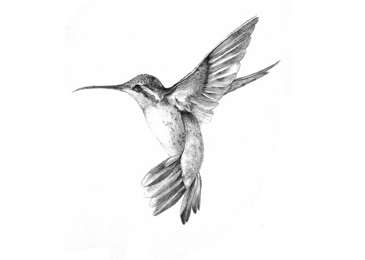 hummingbird illustration black and white images galleries with a bite. Black Bedroom Furniture Sets. Home Design Ideas