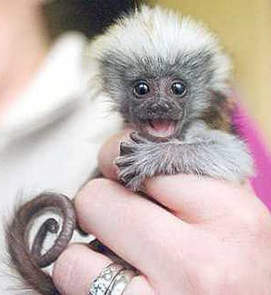 happy-day-pygmy-marmoset.  cutest animal ever. :)