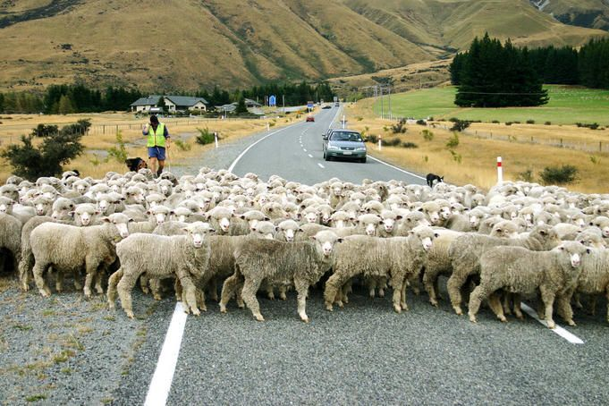 Sheep, New Zealand  Sheep crossing road.      Uros Ravbar Lonely Planet Photographer