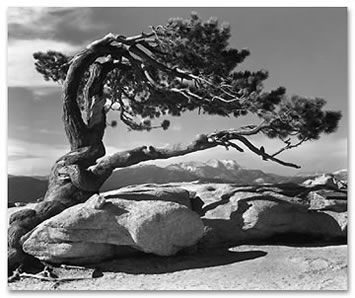 Ansel Adams: Photographers, Jeffrey Pine, Yosemite National Parks, White Photography, Anseladam, Sentinel Domes, Trees, Ansel Adams, Black