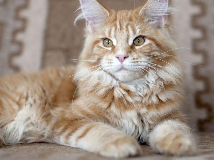 die besten 17 ideen zu katzenrassen auf pinterest katzenbabys und gatos. Black Bedroom Furniture Sets. Home Design Ideas