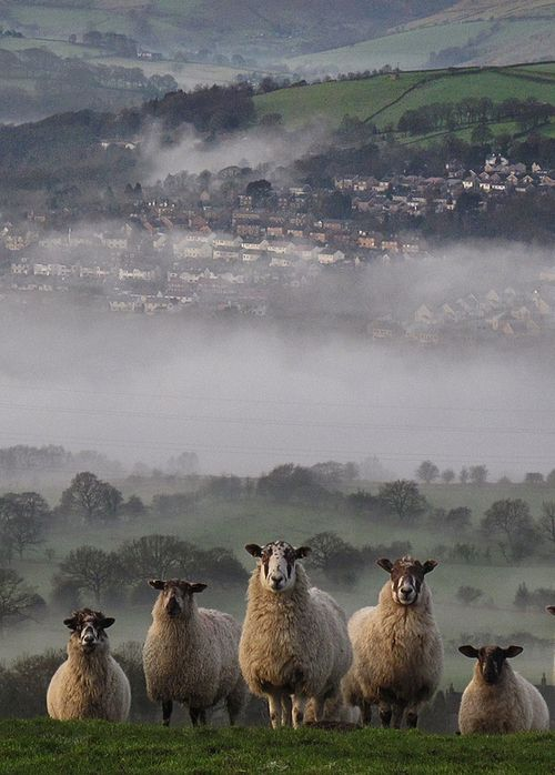 Scottish sheep in the Highlands.