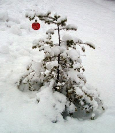 ♥...charlie brown Christmas tree, the real thing, lol..!!