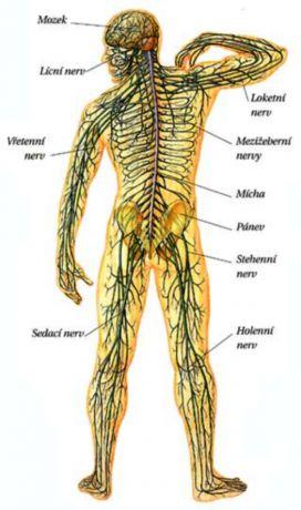 nervova soustava cloveka - Hledat Googlem