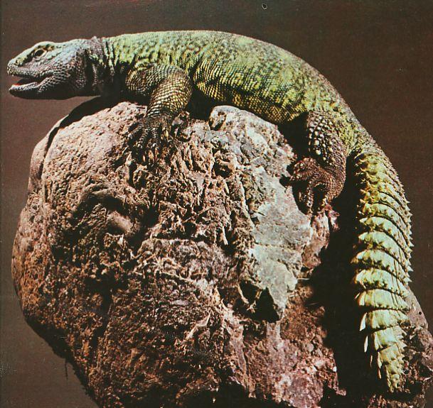 El lagarto de las palmeras, Propio de las regiones septentrionales africanas. se caracteriza porque cambia de tonalidad en función de la temperatura: de color oscuro a primeras horas de la mañana, cuando hace frio, su Piel se va aclarando durante el dia, a medida que el calor aumenta, para oscurecerse de nuevo al atardecer