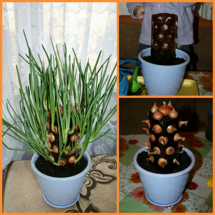 Growing onions can be fun and easy with this vertical for Indoor gardening onions