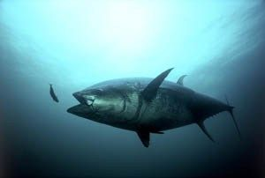 Oceans: Will new regs ease pressure on Atlantic bluefin tuna?