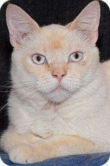 Philadelphia, PA - Siamese. Meet Sia, a cat for adoption. http://www.adoptapet.com/pet/12260439-philadelphia-pennsylvania-cat