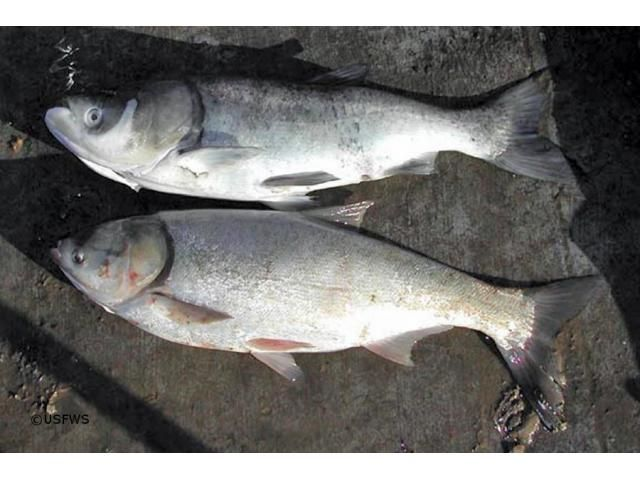 BIGHEAD CARP SEED  5-6 INCH BIGHEAD CARP SEED AVAILABLE..................AT AGRA (UP)   For More Details: http://www.agribazaar.co/index.php?page=item&id=1418