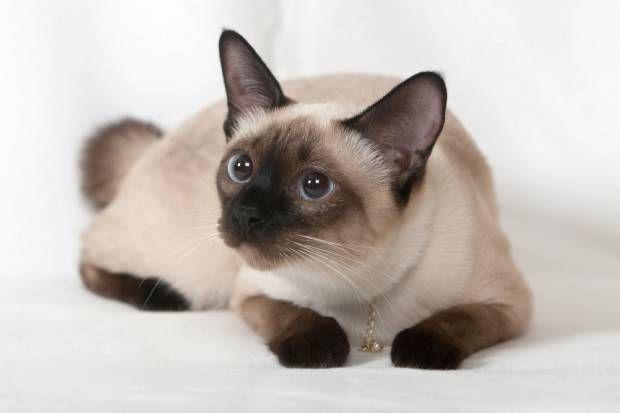 Siamês   Tudo Sobre a Raça de Gato Siamês