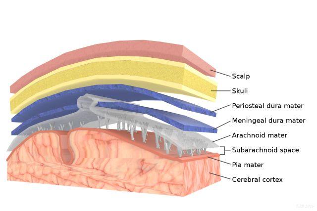 Meninges: Dura Mater, Arachnoid Mater, and Pia Mater: Brain Anatomy:Meninges