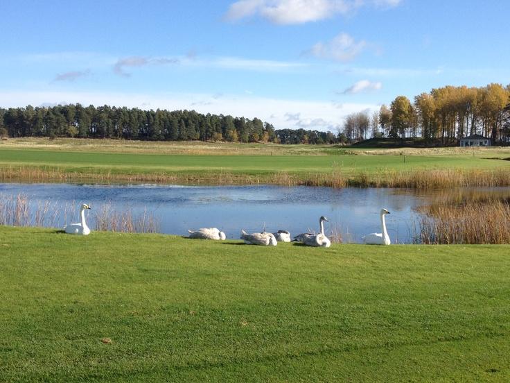 Swans in Söderby, Uppsala.