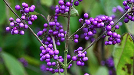 Callicarpa bodinieri var. giraldii 'Profusion'. Love the colour.