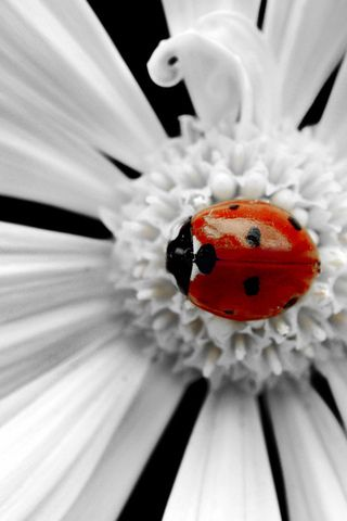 Google Image Result for http://iphonewallpaperonline.com/wp-content/uploads/2011/05/Ladybug-iphone-wallpapers.jpg