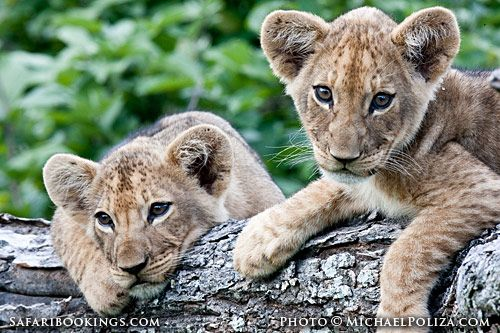 Lion cubs in a tree (Chobe National Park, Botswana) - Botswana travel guide: http://www.safaribookings.com/botswana