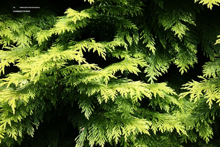 53 best images about coniferen on pinterest thuja occidentalis chinese and cupressus sempervirens - Kleur van een volwassen kamer ...