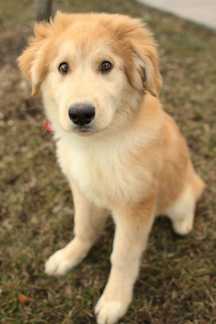 husky/golden mix.. Does this dog not look exactly like Doug from Up?!?! I must have this puppy.