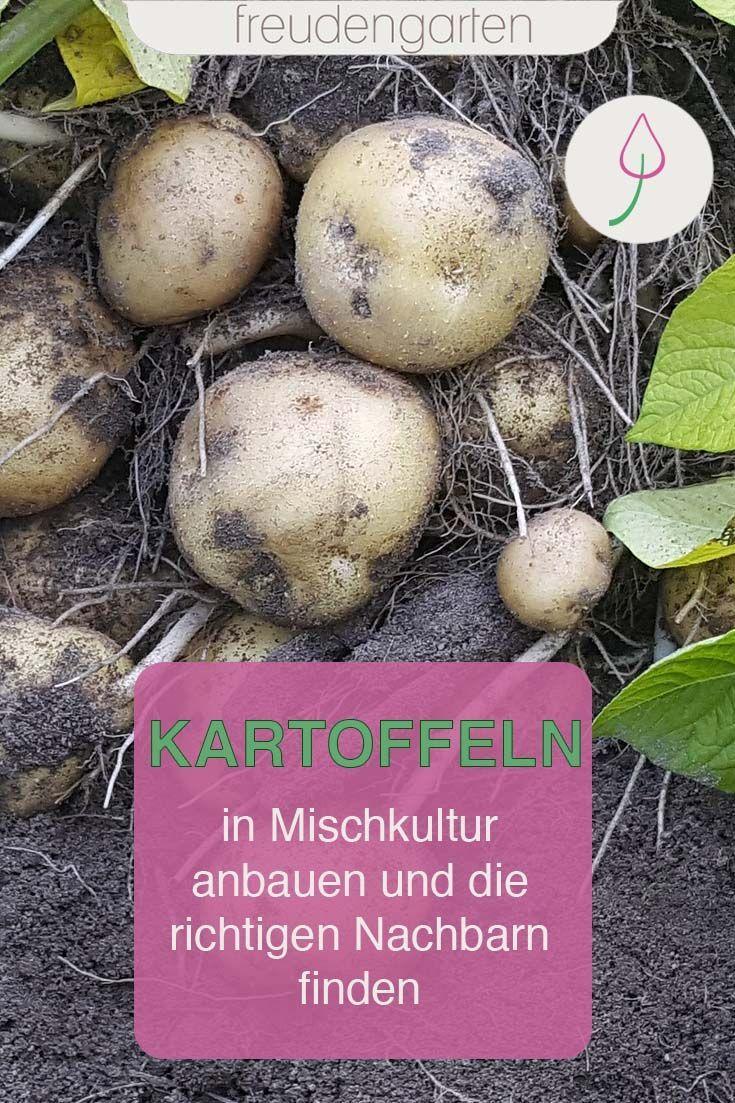Schlechte Kartoffeln