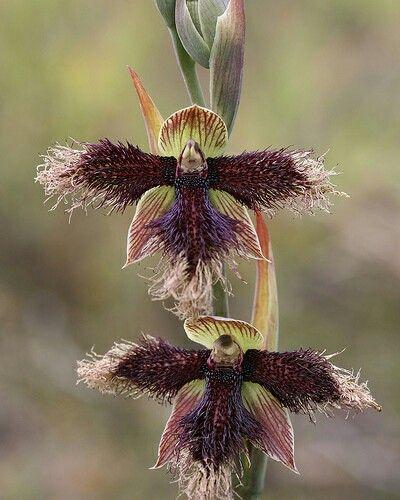 Orchids calochilus Robertsonii/pássaro vermelho